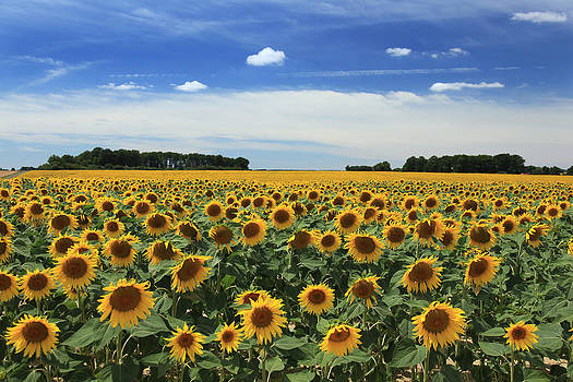 Field of Sunflowers France by Pauline Cutler