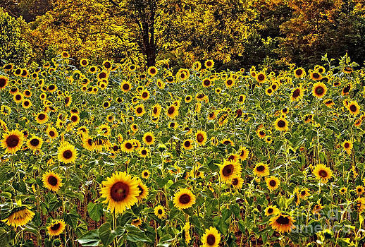 Field of Sunflowers by Mark East