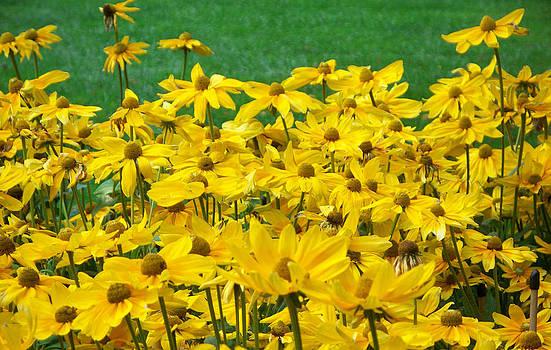Field of Yellow Flowers by Valerie Longo
