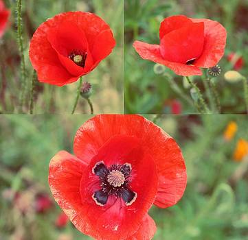 Field Poppies by Cathie Tyler
