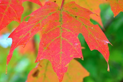 Fire Leaf by Mandi Howard