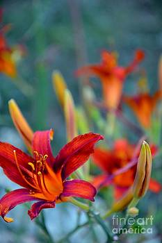 Fire Red Lilies by AE Hansen