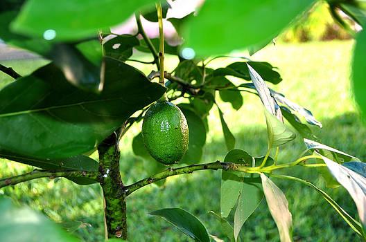 First Avocado by Mickey Krause