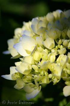 Annie Babineau - first hydrangea blooms