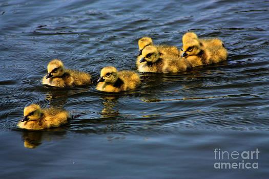 Nick Gustafson - First swim baby geese