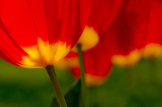 Five Red Tulips by Marcus Taylor
