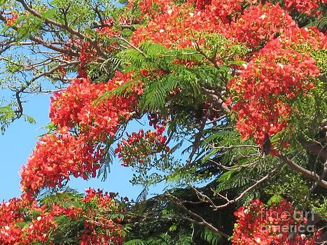 Flamboyants - Ile De La Reunion - Reunion Island by Francoise Leandre