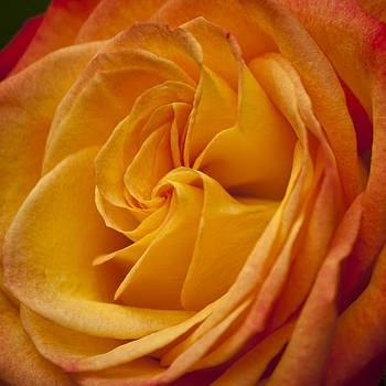 Teresa Mucha - Flame Rose Squared 3