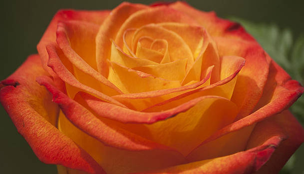 Teresa Mucha - Flame Rose Study 3