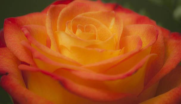 Teresa Mucha - Flame Rose Study 5