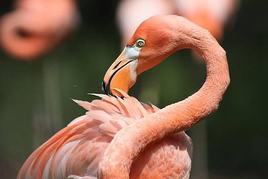 Flamingo by Alisha Luby