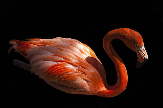Flamingo Profile by Mark Archer