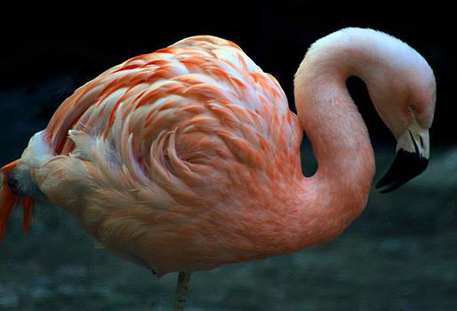 Flamingo by Tammy Espino