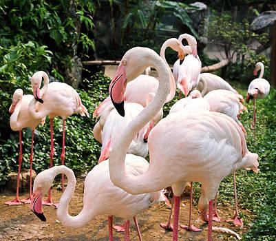 Flamingos by Natee Srisuk