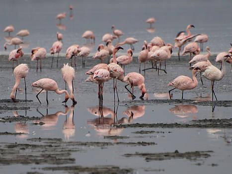 Flamingos on Lake Nakuru by Kathy Dunce