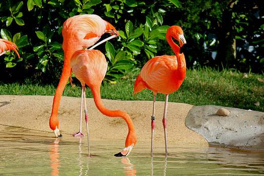 Flamingos1 by Shweta Singh