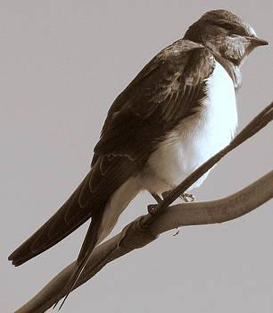 Joseph Doyle - Fledgling Swallow  awaits flight  migration