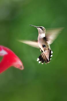 Flight of the Hummingbird by Robert Wicker