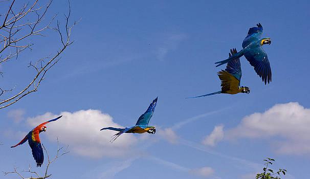 Flight of the parrots by Andre Van der Hoeven