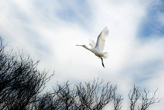 Flight of The Spoonbill by Wendy Slee