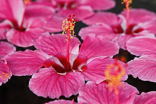 Kantilal Patel - Floating Hibiscus