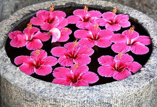 Kantilal Patel - Floating Pink Hibiscus