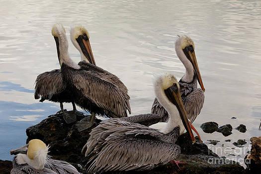 Keith Kapple - Flock of Pelicans