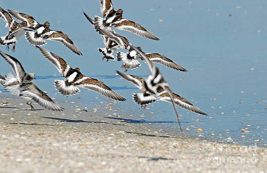 Flock of Ruddy Turnstones by Richard Nickson