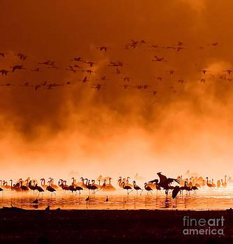 Flocks Of Flamingos In The Sunrise by Konstantin Kalishko