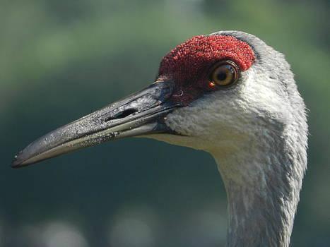 Florida Crane by Amber Bobbitt