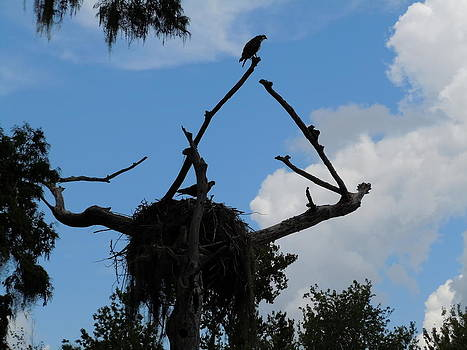 Florida Eagle's Nest by Donna Bosela
