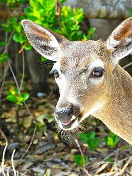 Florida Key Deer by Amber Bobbitt