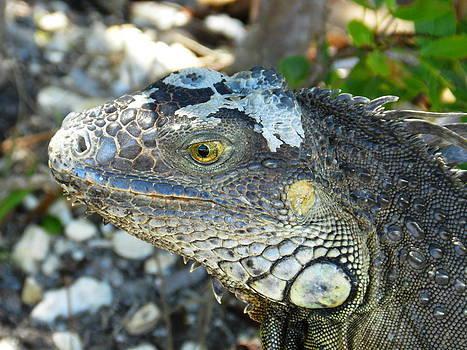 Florida Keys Iguana by Amber Bobbitt