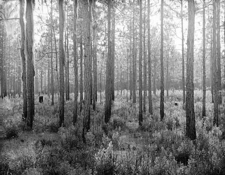 Florida Piney woods by T R Maines