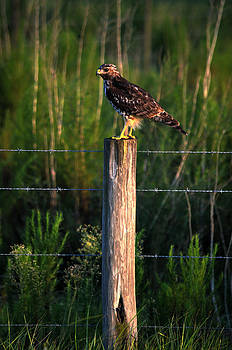 Ronald T Williams - Florida Red-Shouldered Hawk
