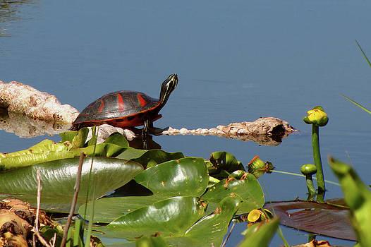Peg Urban - Florida Redbelly Turtle