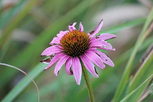 Peter Ciro - Flower at Waterfall Glen Forest Preserve