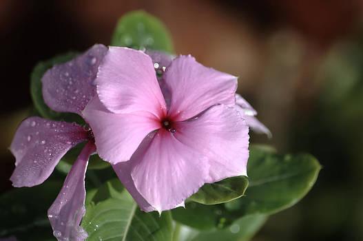 Ronald T Williams - Flower Shedding Tear