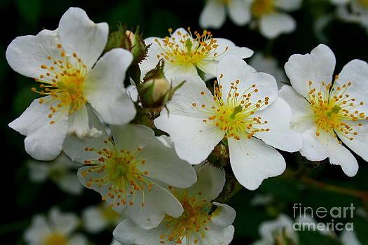 Flowering Bush 1 by Christina A Pacillo