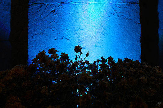 Flowers Against The Blue Light Wall At Night by Charles Dancik