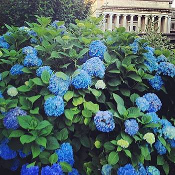 #flowers #hydrangeas #collegecampus by Gerry Visco