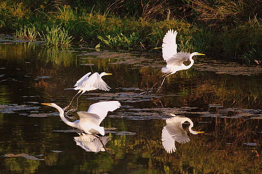 Flurry of Egrets by Donna Harding