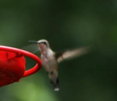 Fluttering Hummingbird by Sharon Spade - Kingsbury
