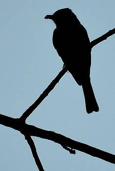 Flycatcher with Bug by Jeffrey Platt
