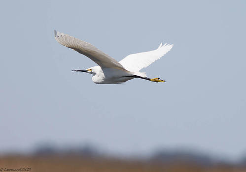 Flying Egrets by Glenn Lawrence