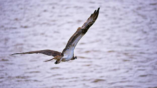 Flying Osprey by Bob Lennox