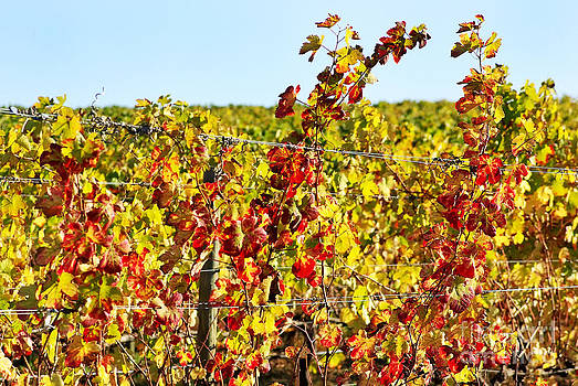 Foliage of autumn vineyard by Inacio Pires