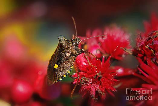 Yhun Suarez - Forest Bug - Pentatoma Rufipes