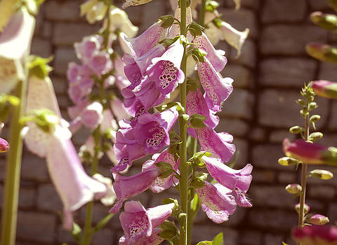 Fox Glove by Kelly Rader