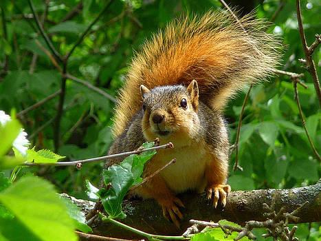 FoxSquirrel by Robert Amman